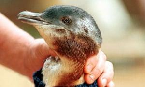 A fairy penguin like Dirk, who was stolen from SeaWorld on Australia's Gold Coast
