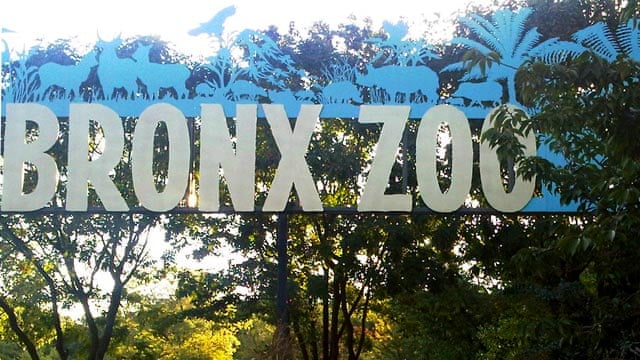 Bronx Zoo Tiger Who Mauled Man Did Nothing Wrong Us News The