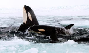 Video footage of killer whales trapped in sea ice of Hudson Bay