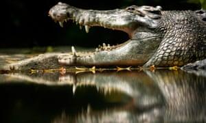 Crocodile on river bank