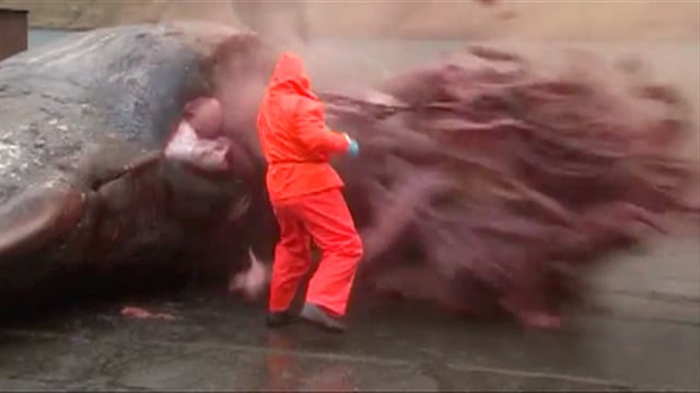 Sperm whale explodes as man tries to open stomach - video | World news |  The Guardian