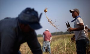 Undocumented migrants work in the fields in Georgia