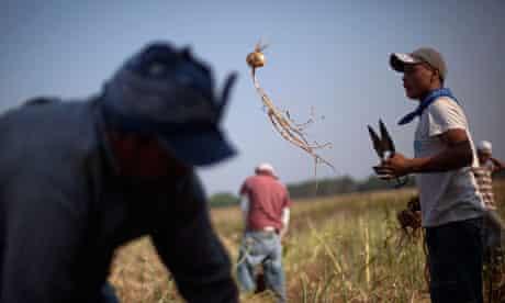 Undocumented migrants work in the fields in Georgia