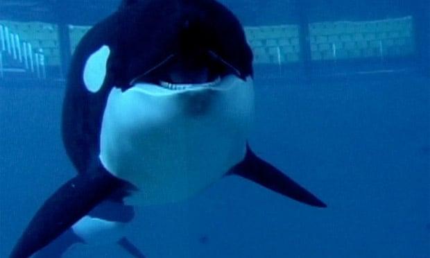 Blackfish, SeaWorld and the backlash against killer whale theme park