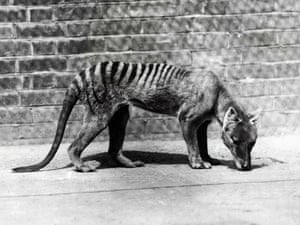 A Tasmanian tiger in captivity, c1930