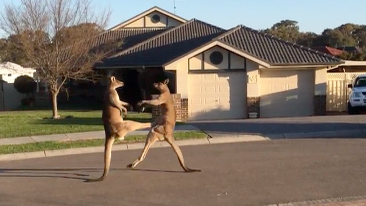 Kangaroos get into boxing match on quiet Australian street - video | Australia news | The Guardian