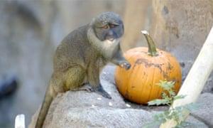 """Monkeys enjoy early Halloween treat """