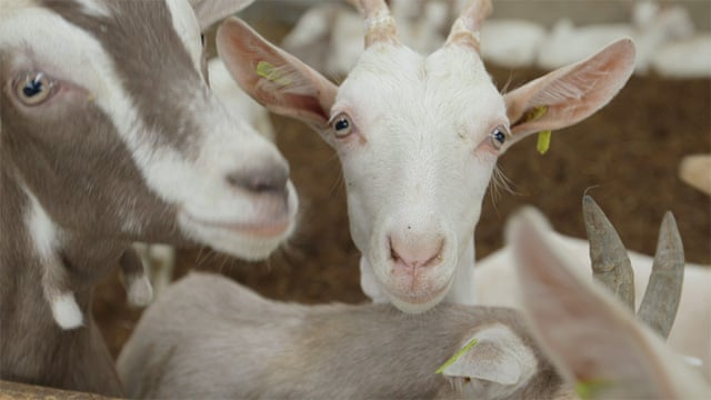 Meet The Goat Men Of Broughgammon Farm Video Life And Style