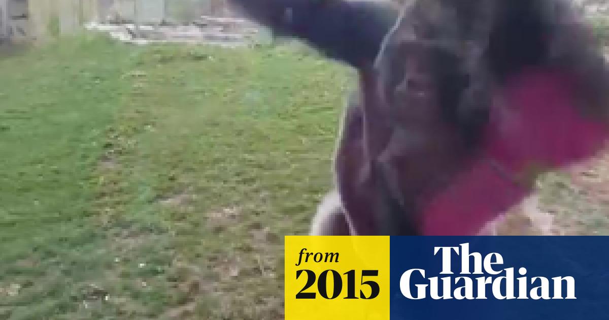 Silverback gorilla cracks glass of enclosure - video ...