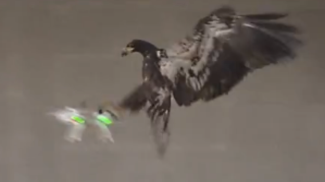 Eagle Eyed Dutch Police To Train Birds Take Down Unauthorised Drones
