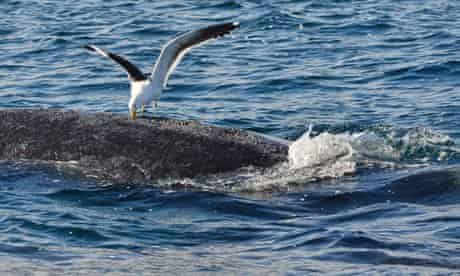 A seagull pecks at a whale in the southern Atlantic Ocean