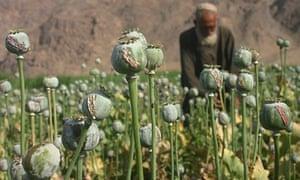 AFGHANISTAN-KANDAHAR-OPIUM POPPY