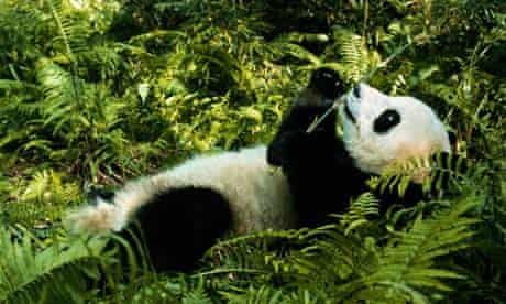 A giant panda lying in bamboo