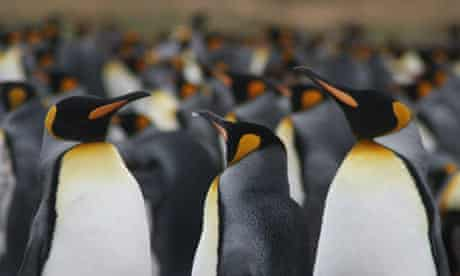 King Penguins on the Falkand Islands