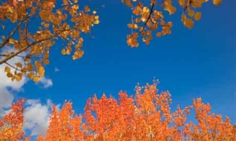 Golden aspens leaves in autumn colours