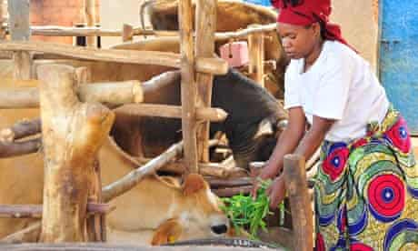 ActionAid: a woman feeds her cattle in Rwanda