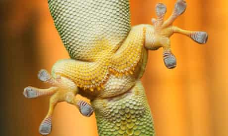 Close-up view of gecko feet clinging on glass
