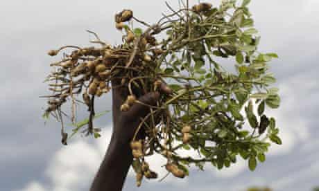 Katine farmer crops