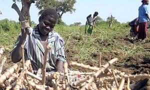 Katine cassava planting