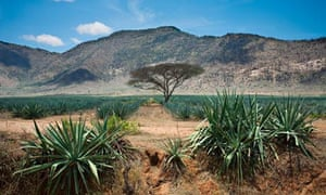 Agave sisalana plantation in the Pare Mountains, Tanzania, Africa