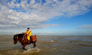 A shrimp fisherman rides a carthorse to haul a net after catching shrimps at Oostduinkerke