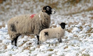 Sheep on the snow-covered moors above Teesdale in County Durham