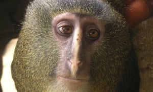 A new species of monkey known locally as the lesula