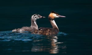 Country Diary: Great crested grebe (Podiceps cristatus) with juvenile