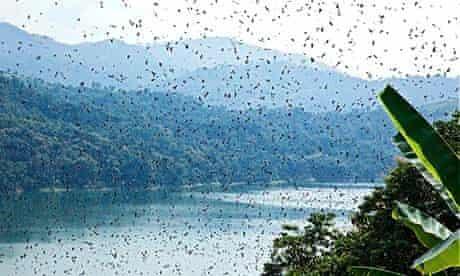 Amur Falcon congregations over the Doyang Reservoir, Nagaland, Oct 2013