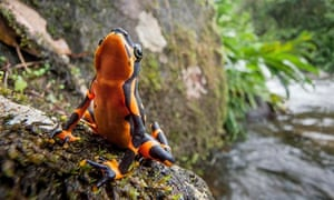 TheCosta RicanVariable Harlequin Toad(Atelopusvarius)