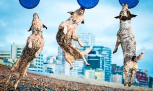 A Jack Russell dog plays frisbee on Brighton Beach in a composite image