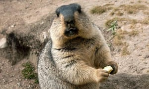 A Marmot. Temirbek Isakunov reportedly died from bubonic plague after eating a marmot