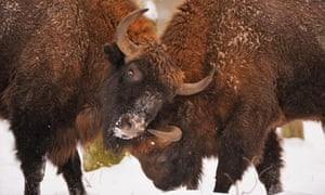 European bison have made a comeback in areas of central and eastern Europe