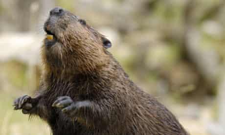 Beaver - Wikipedia | 276x460