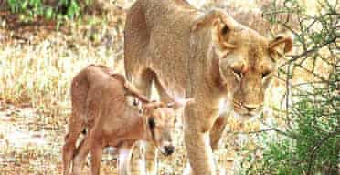 Larsens the Kenyan lioness with her adopted oryx