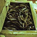 A drawer full of eels
