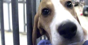 A five-month-old beagle at Huntingdon Life Sciences animal testing laboratory