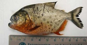 The deadly piranha found in the river Thames