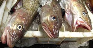 North sea cod lie in their bins at Peterhead fish market in north-east Scotland