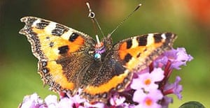 A small tortoiseshell butterfly fitted with a radar transponder