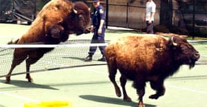 A bison leaps a tennis net while attempting to evade police after escaping from a farm near Pikesville, Maryland