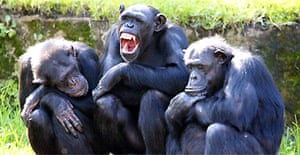 Chimpanzees in a family group