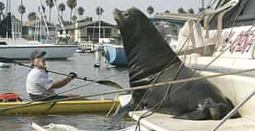 A kayaker gets close to a sea lion in Newport, California