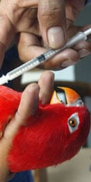 An Indonesian agriculture ministry official injects a parrot with bird flu vaccine in Jakarta. Photograph: Tatan Syuflana/AP