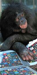 Panbanisha the communicative chimpanzee. Photograph: Georgia State University/Des Moines Register/AP