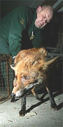 Bruce Lindsay-Smith with one of more than 70 foxes he has trapped in the London area in four weeks