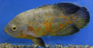 Oscar the fish, whose markings are being compared to the Arabic script for Allah and Muhammad. Photograph: Martin Ricket/PA