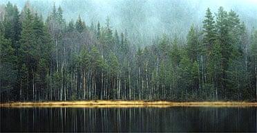 Evergreen forest in Sweden