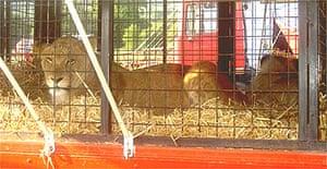 A circus lion