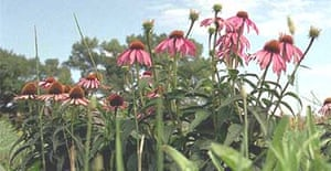 Echinacea flowers, a drought-resistant perennial